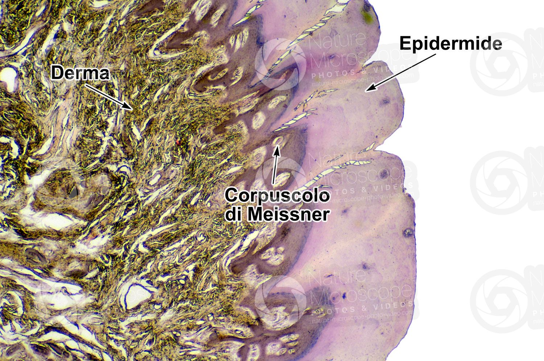 la propriocezione corpuscoli di meissner