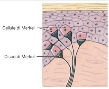 propriocezione-recettori-di-merkel