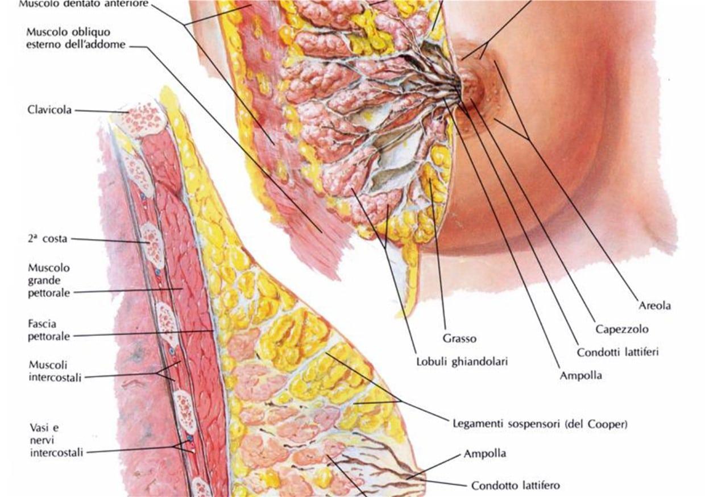 tumore al seno ghiandola mammaria